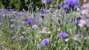 Vidéo – Marine Lorphelin, belle des champs de bleuets