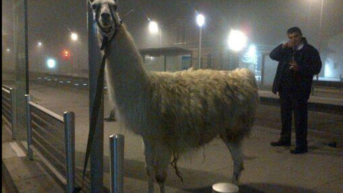 Vidéo- Quand Serge le lama rencontre Stromae