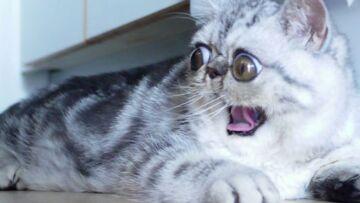 Herman, le chat aux yeux énormes, nouvelle star du web